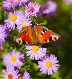 European peacock butterfly, inachis io, in purple wild flower meadow royalty free stock photography