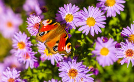 European peacock butterfly, inachis io, in purple wild flower meadow stock photos