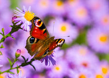 European peacock butterfly, inachis io, in purple wild flower meadow stock image