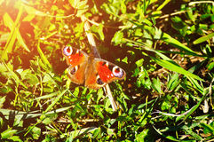 The European Peacock butterfly - in Latin Inachis io,  also known simply as the Peacock butterfly Royalty Free Stock Photography
