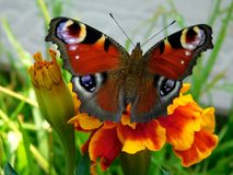 European Peacock butterfly on a marigold flower in a garden. On a sunny day Stock Photography