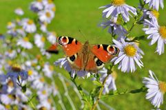 European Peacock butterfly sitting on chamomile bloom. European Peacock Aglais io butterfly found in Europe and temperate Asia, sitting on chamomile bloom Royalty Free Stock Photography