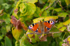 European Peacock butterfly sitting on a vine leaf. In autumnal garden closeup stock photos