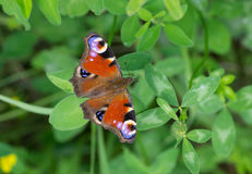 European Peacock butterfly sitting on a wild clover. At summer season royalty free stock photography