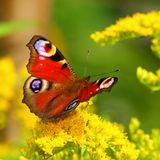 European Peacock butterfly on a yellow flower royalty free stock photos