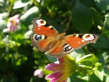 European Peacock on colorful flower. Inachis io butterfly Royalty Free Stock Photo