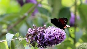 European Peacock drinks nectar at pink Buddleja flower stock video