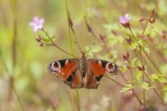 European peacock - flower meadow Royalty Free Stock Photos