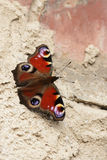 European Peacock (Inachis io) Stock Photography