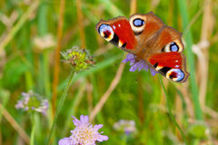 European Peacock (Inachis io) Royalty Free Stock Images