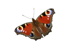 European Peacock (Inachis io) Stock Images