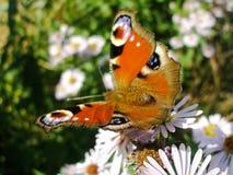 European Peacock on Michaelmas Daisies. Aglais Io butterlfy on New York Aster flower. Photo taken in sunny summer day Stock Photo