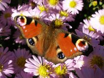 European Peacock on Michaelmas Daisy. Aglais Io butterfly on New York Aster flowers. Beutiful flower on many violet flowers Stock Photos