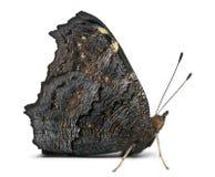 European Peacock moth, Inachis io Royalty Free Stock Photos