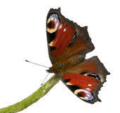 European Peacock moth, Inachis io Stock Images