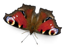 European Peacock moth, Inachis io, in front Stock Photo