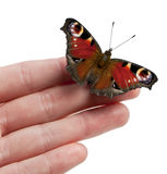 European Peacock moth, Inachis io, on a hand Royalty Free Stock Images