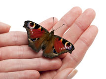 European Peacock moth, Inachis io, on a hand Stock Image