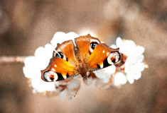 European peacock orange butterfly on a white flower Stock Photos