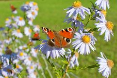 European Peacock sitting on chamomile bloom. European Peacock Aglais io butterfly found in Europe and temperate Asia, sitting on chamomile bloom Royalty Free Stock Images