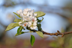 European pear flowers Royalty Free Stock Photos