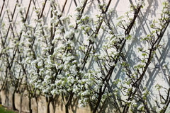 European pear tree, Pyrus communis Stock Photos