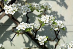 European pear tree, Pyrus communis Stock Photography