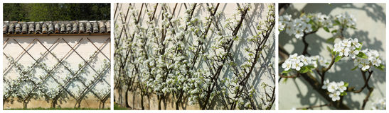 European pear tree, Pyrus communis Stock Image