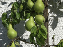 European Pears Warmed by the Sun Royalty Free Stock Photography