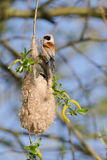 European penduline tit Stock Photo