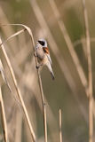 European penduline tit Royalty Free Stock Image