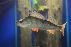 European perch Stock Image