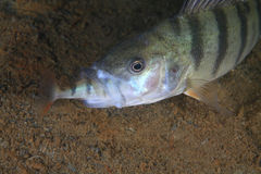 European perch fish Royalty Free Stock Images