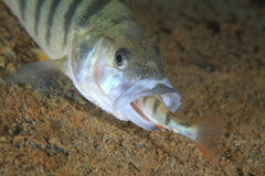 European perch fish. (Perca fluviatilis) eats a little fellows Stock Photography