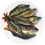 European perch fish on plate. Stock Photos