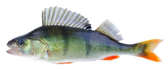 European perch fish Royalty Free Stock Photos