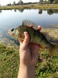 European perch, fishing day. A beatiful, colourful fish caught in romania Stock Photography