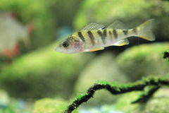 European perch Royalty Free Stock Photo