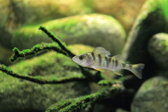 European perch Royalty Free Stock Photography