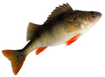European perch ( Perca fluviatilis ) Stock Photos