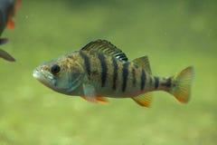 European perch (Perca fluviatilis). Stock Images