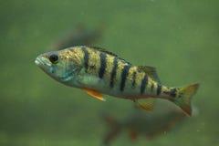 European perch (Perca fluviatilis). Royalty Free Stock Photos