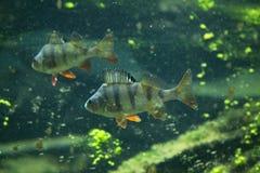 European perch (Perca fluviatilis). Royalty Free Stock Images