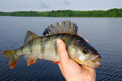 European perch trophy Stock Images