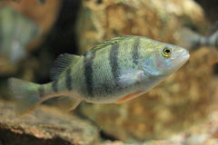 European perch. The european perch in water stock photography