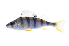 European perch on the white Stock Images