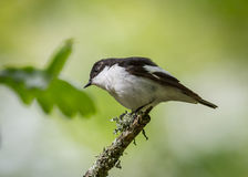 European pied flycatcher bird Royalty Free Stock Photos