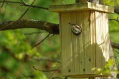 European pied flycatcher, female Royalty Free Stock Photo