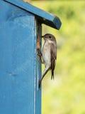 European pied flycatcher Stock Image