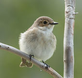 European pied flycatcher, female. Royalty Free Stock Photography